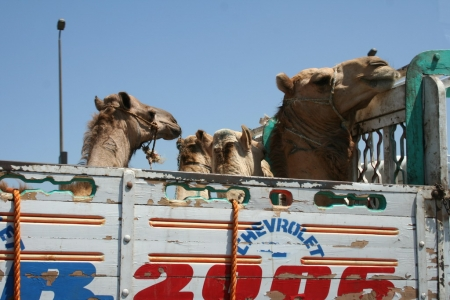 Kamele in Kairo